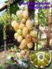 Атлант запорожский виноград