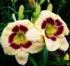 Лилейник Кустард Канди/Hemerocallis Custard Candy, деленка