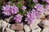 Армерия «Lelecovice» Armeria juniperifolia «Lelecovice»