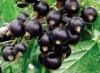 Сорт смородины Титания