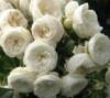 Роза Artemis/Артемис