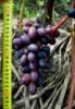 Кодрянка виноград столовый