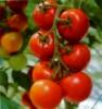 Пентафаг- биопрепарат против вирусных заболеваний растений