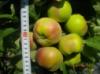 Саженец яблони колоновидной Останкино.