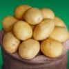 Семенной картофель Електра (1 репр. Голландия)