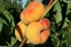 Персик инжирный Бельмондо 80-120см Подвой пумиселек.