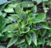 Фіалка Viola Heartthrob