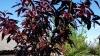 Саженцы персика краснолистного бургунди