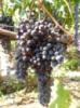 Кишмиш уникальный виноград