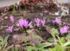 Бульбокодиум весенний (брандушка) BULBOCODIUM vemum