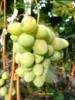 КоКл белый виноград столовый