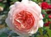 Роза A Shropshire Lad/Э Шропшиэ Лэд