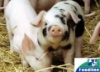 БМВД для свиней ТМ «Feedline»