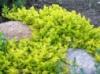 Вербейник монетчатый ауреа Lysimachia numularia