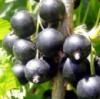 двухлетние саженцы черной смородины софиевская