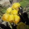 Опунция Polyacantha (Зимостойкий кактус)