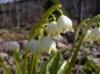 Белоцветник весенний Leucojum vernum
