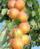 НОВИНКА Саженец колоновидного абрикоса Принц Март