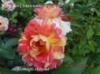 Роза Rose des Cisterciens/Розе дес Систэрсьенс