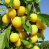 Алыча крупноплодная желтая