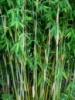 Бамбук Fargesia nitida «Shadowlight»