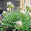 Армерия можжевелолистная Armeria juniperifolia