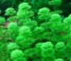 Лимнофила сидячецветковая (Limnophila sessiliflora)