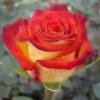 Роза Френдли Friendly
