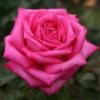 Роза Duftrausch/Дуфтрауш