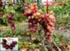 Аметист новочеркаський виноград