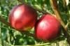 Нектарин Рубиновый 7