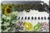 Насіння соняшнику Ліміт під Євро-Лайтінг від виробника