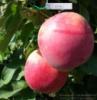Саженец яблони колоновидной Трайдент
