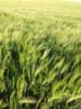 Канадский яровой ячмень ТАЛБОТ, урожайность 120-140ц.