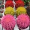 кактус грузони цветной крупный