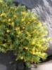Виталиана примулоцветковая 'Praetutiana' Vitaliana primuliflora v. praetutiana.