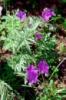 Герань клубненосная Geranium tuberosum