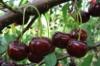 Купить саженцы вишни «Чудо-вишня»