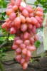 Гелиос (вегетирующий саженец) Черенок 20 грн.