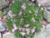 Армерия приморская «Acaulis» Armeria maritima « Acaulis»