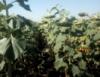 Семена подсолнечника Гаярд