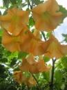 Бругмансия желто-оранжевая