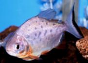 ПИРАНЬЯ КРАСНЫЙ ПАКУ (Piaractus brachypomus) 5-6см