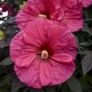 Гибискус Summerific™ «Evening Rose»