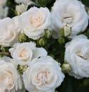 Штамбовая роза Спрей белый