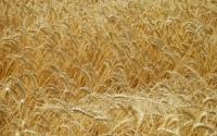 Семена озимой пшеницы Видрада