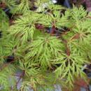 Клен дланевидный Эмеральд Лейс, Acer palmatum 2х летний