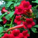 Кампсис укореняющийся «Flamenko», саженец 25-30 см