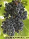 Виноград Изабелла (вегетирующий саженец) Черенок 20 грн.