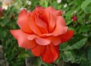 Роза Аве Мария